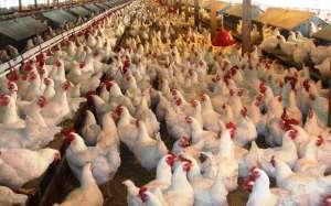 Besi tavuklarının beslenmesi ve sağlığı
