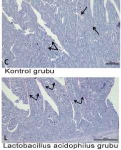 Probiyotik verilen grupta villus hücrelerinin kontrol grubuna kıyasla gelişimi